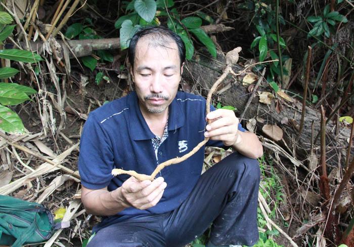 Rễ và củ một loại sâm ở Hoàng Liên Sơn, do lương y Thanh trồng