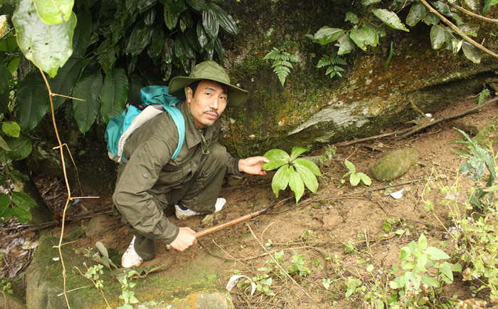 Một loài sâm do lương y Thanh trồng ở Hoàng Liên Sơn