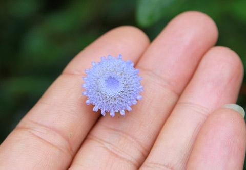 Loài thảo dược cho bông hoa màu tím này được các nhà sư Tây Tạng dùng trong bài thuốc trị tiểu đường