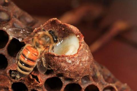 Ong chúa ăn sữa nên sống thọ gấp 50 lần anh em của nó