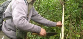 Khu rừng dị thảo cứu mạng những người viêm gan, xơ gan cổ trướng