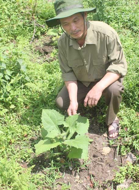 Ông Lâm bên một loại thảo dược quý mà ông trồng ở đất của Đồn biên phòng Y Tý, Bát Xát, Lào Cai.