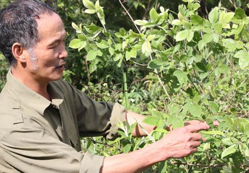 Ông Lâm bên một cây thuốc quý có trong trà Trường Sinh Thang ở Fansipan