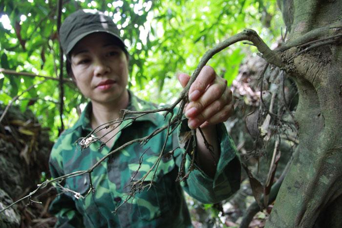 Chị Minh với rễ cây có tác dụng cường dương