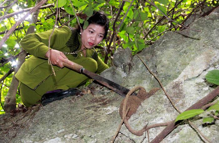 Chị Minh lấy củ thuốc kỳ dị mọc trên vách đá