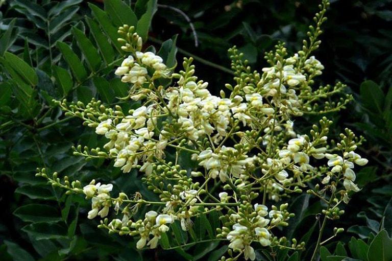 cây hoa hòe chữa tim mạch